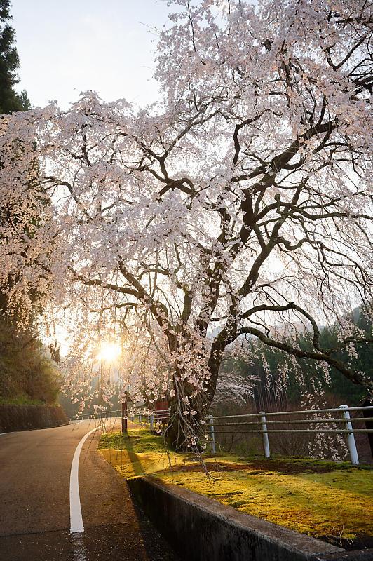 2020桜巡り@京北町 魚ヶ淵の吊り橋_f0032011_21063240.jpg