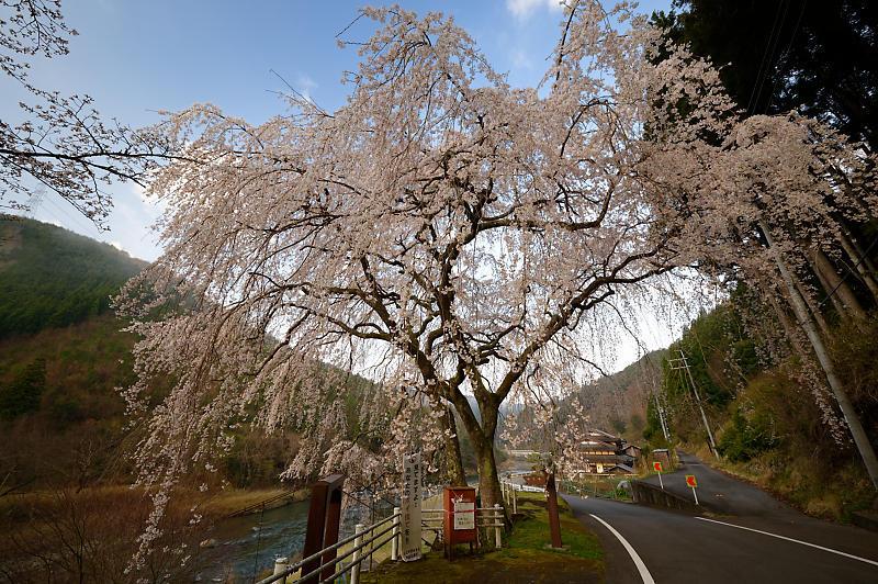 2020桜巡り@京北町 魚ヶ淵の吊り橋_f0032011_21063300.jpg