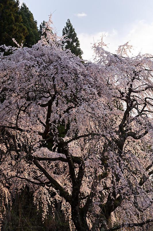 2020桜巡り@京北町 魚ヶ淵の吊り橋_f0032011_21063353.jpg