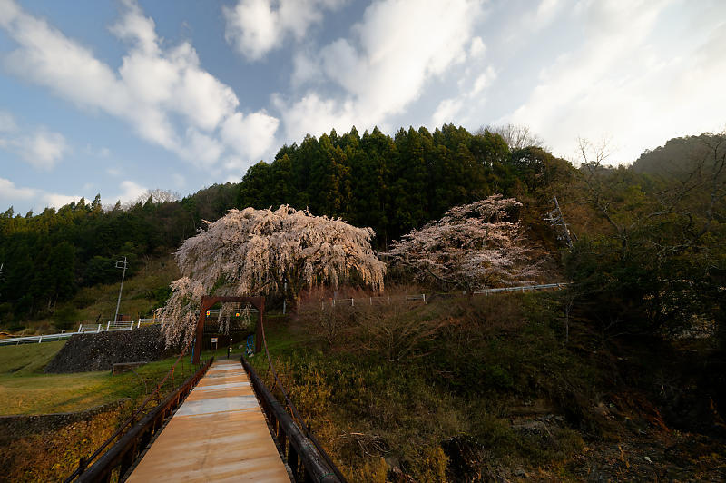 2020桜巡り@京北町 魚ヶ淵の吊り橋_f0032011_21063386.jpg