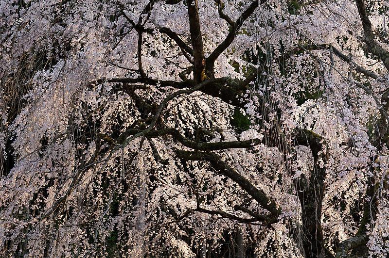 2020桜巡り@京北町 魚ヶ淵の吊り橋_f0032011_21140281.jpg