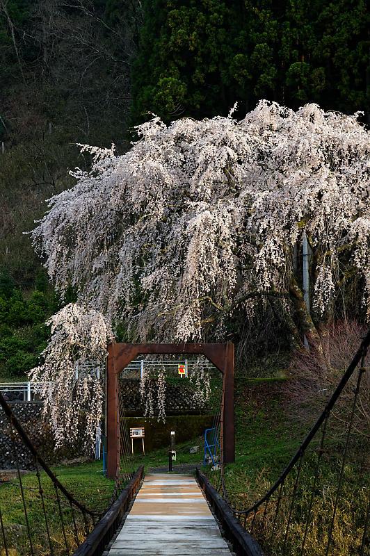 2020桜巡り@京北町 魚ヶ淵の吊り橋_f0032011_21140367.jpg
