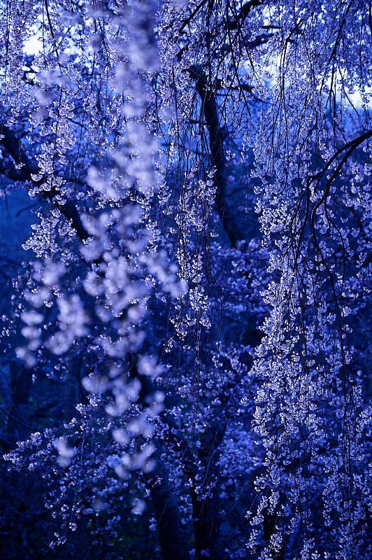 2020桜巡り@京北町 魚ヶ淵の吊り橋_f0032011_21170147.jpg