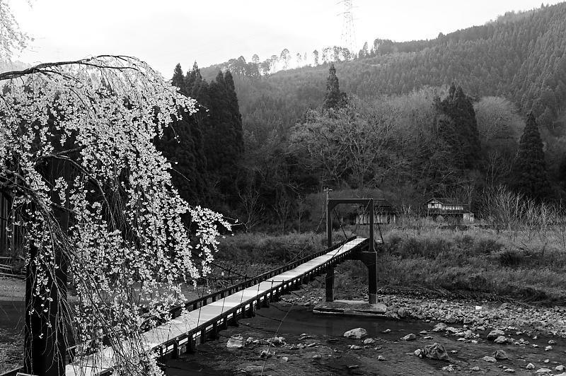 2020桜巡り@京北町 魚ヶ淵の吊り橋_f0032011_21170150.jpg