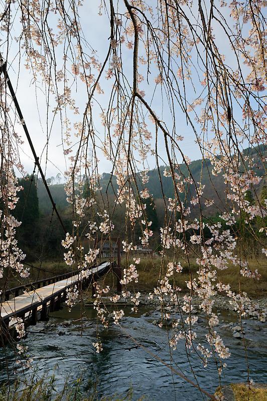 2020桜巡り@京北町 魚ヶ淵の吊り橋_f0032011_21170189.jpg