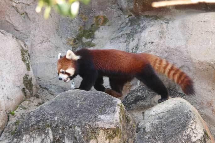 レッサーパンダっ仔!~疾走「ずん」とひまわりバウワー(多摩動物公園)_b0355317_22051476.jpg