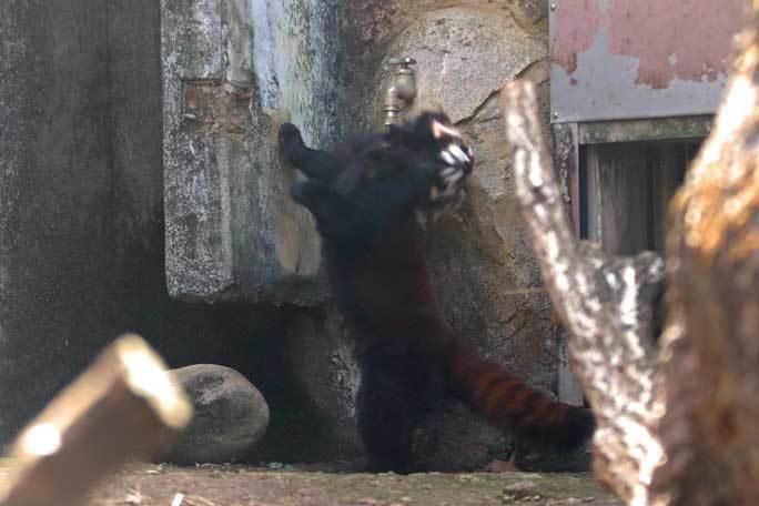 レッサーパンダっ仔!~疾走「ずん」とひまわりバウワー(多摩動物公園)_b0355317_22082401.jpg