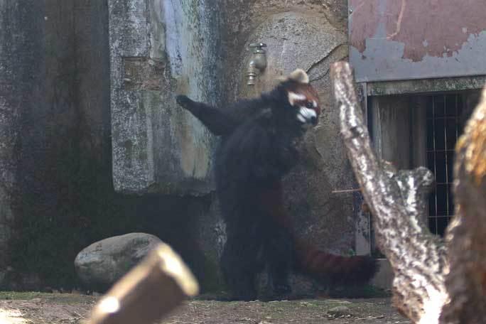 レッサーパンダっ仔!~疾走「ずん」とひまわりバウワー(多摩動物公園)_b0355317_22085242.jpg