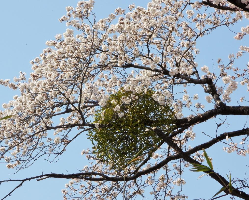 サクラが咲いて ~ 在庫より ~_c0305565_17375386.jpg