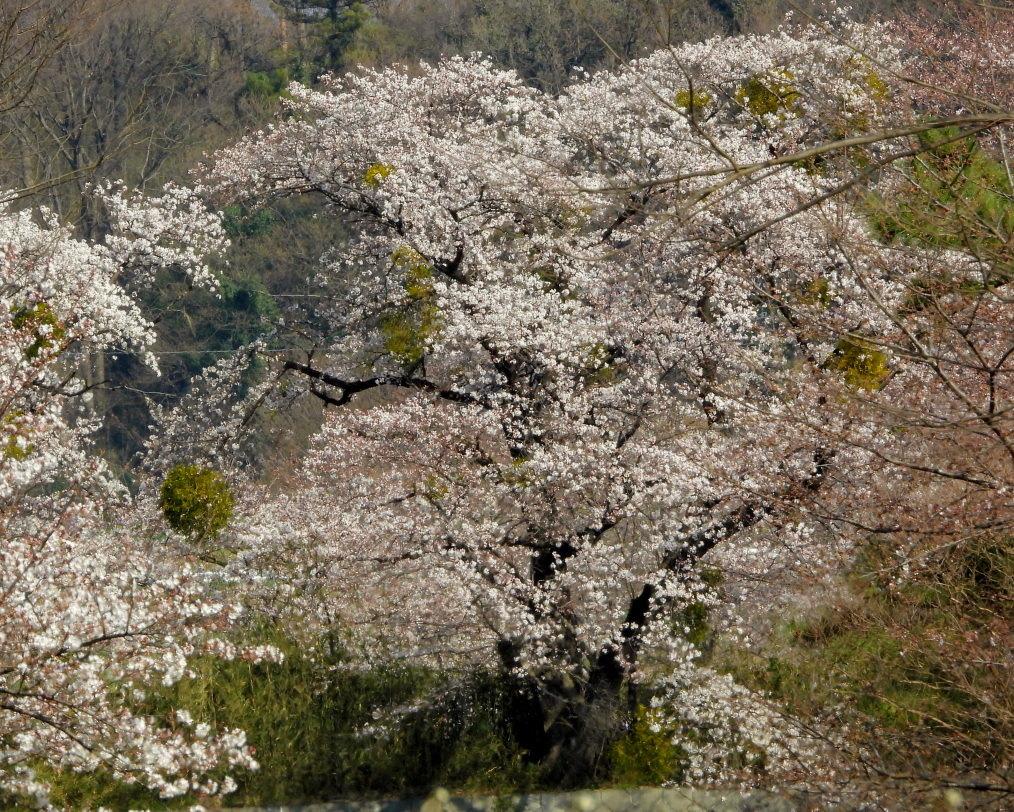 サクラが咲いて ~ 在庫より ~_c0305565_17382163.jpg