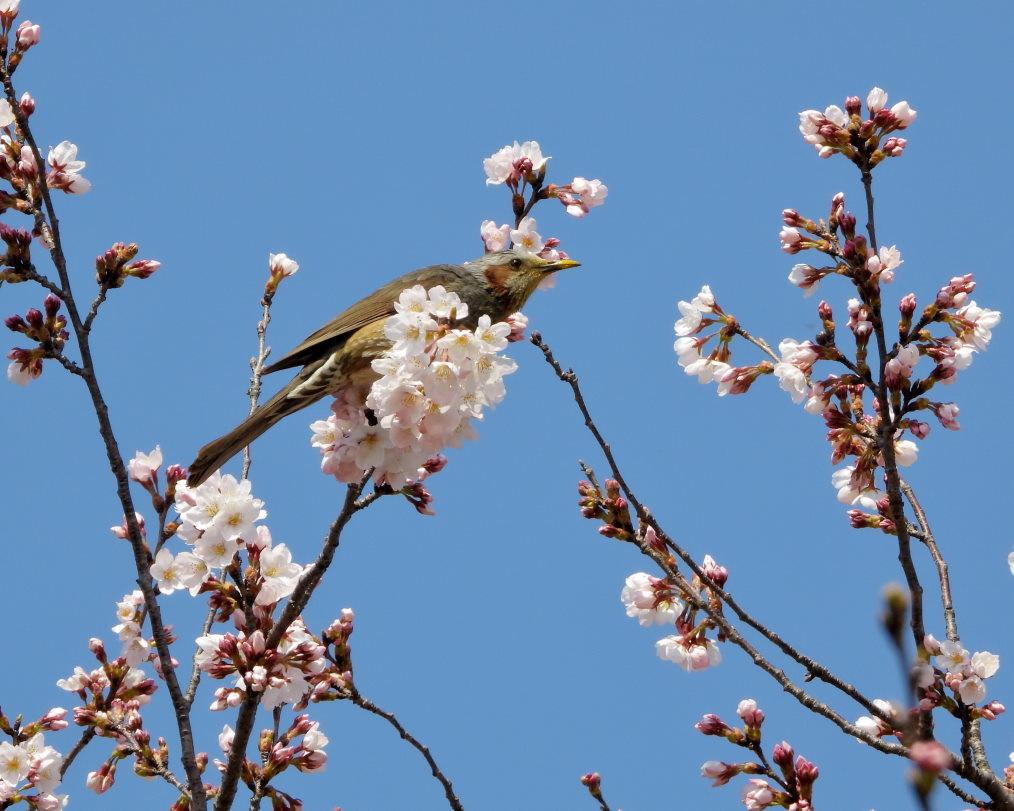 サクラが咲いて ~ 在庫より ~_c0305565_17391745.jpg