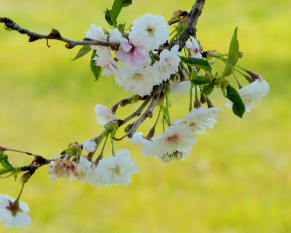 サクラが咲いて ~ 在庫より ~_c0305565_17403291.jpg