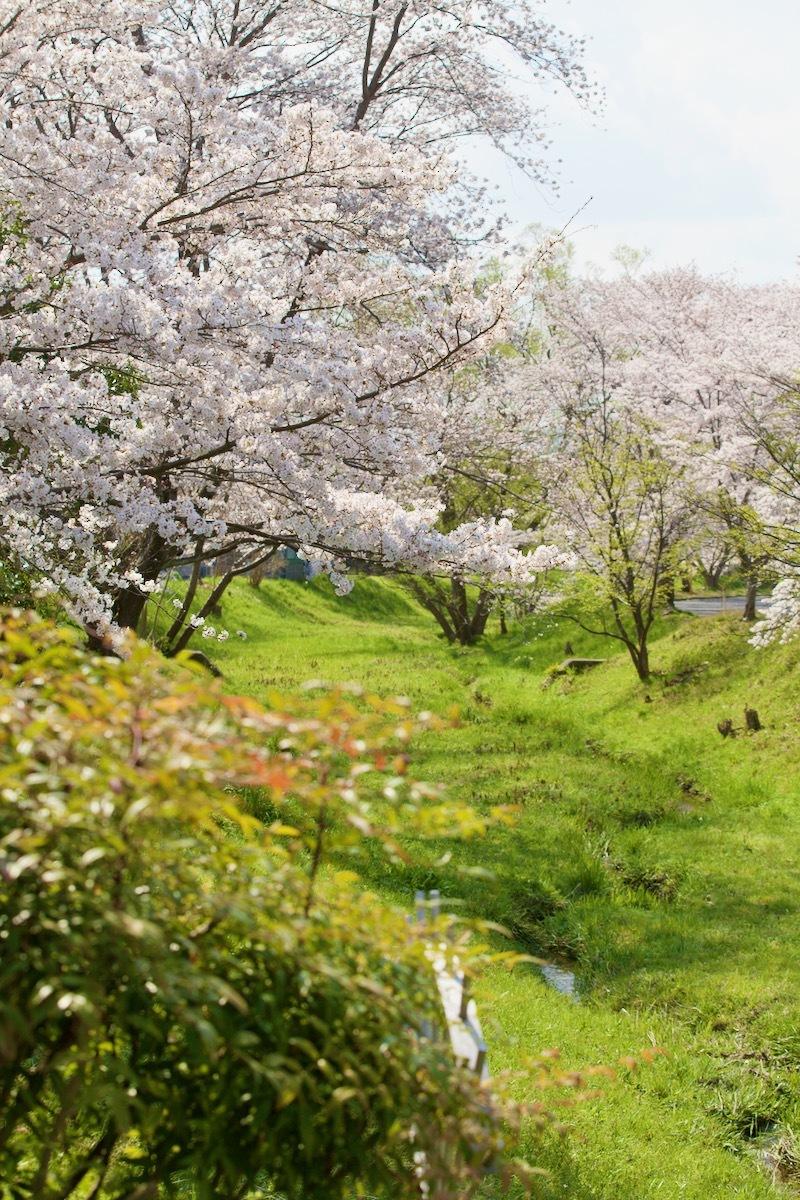 桜咲く_c0163369_12495733.jpeg