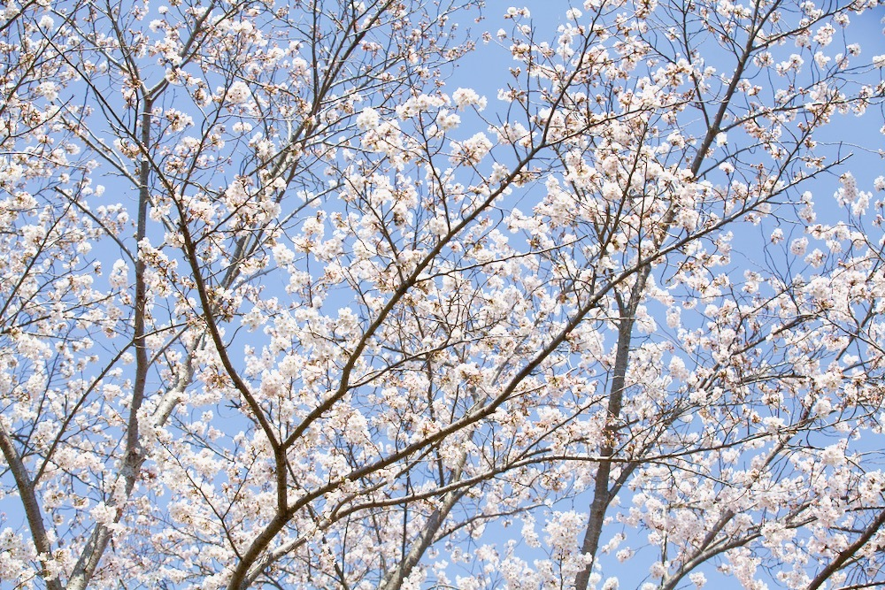 桜咲く_c0163369_12554659.jpeg