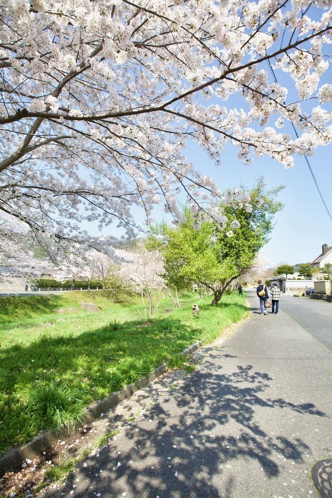 桜咲く_c0163369_12554908.jpeg