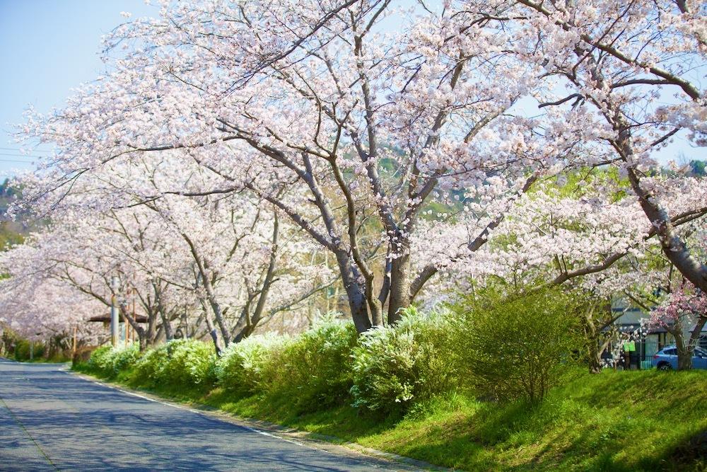 桜咲く_c0163369_12584626.jpeg