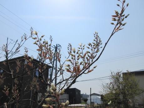 碇草・越後の木の芽など_a0203003_14394609.jpg