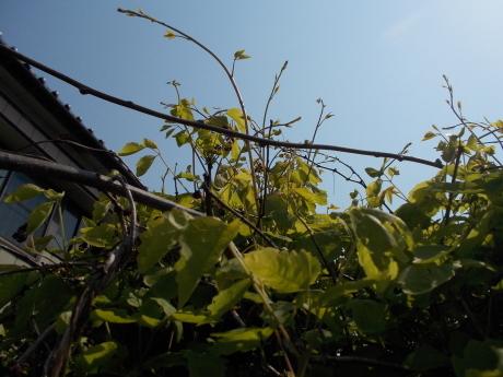 碇草・越後の木の芽など_a0203003_19573924.jpg