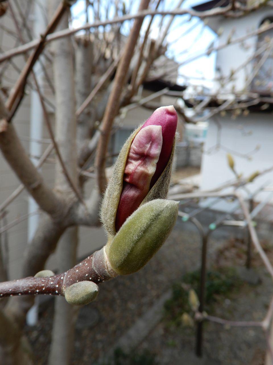モクレンやレンギョウの花びらがのぞいています_c0025115_22011974.jpg