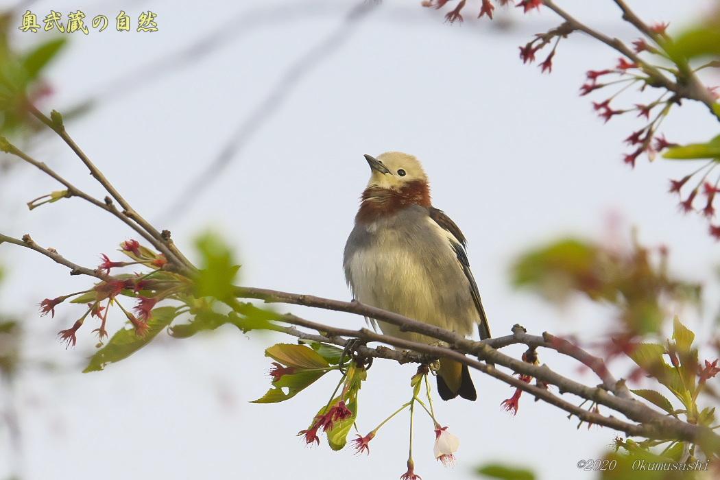 夏鳥到着_e0268015_19253618.jpg