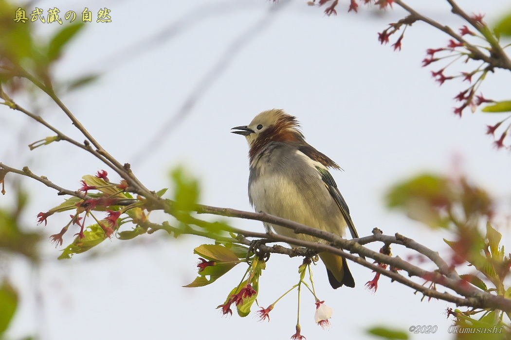 夏鳥到着_e0268015_19255564.jpg