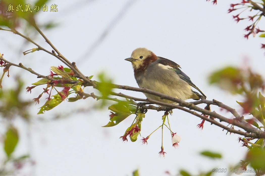 夏鳥到着_e0268015_19260735.jpg