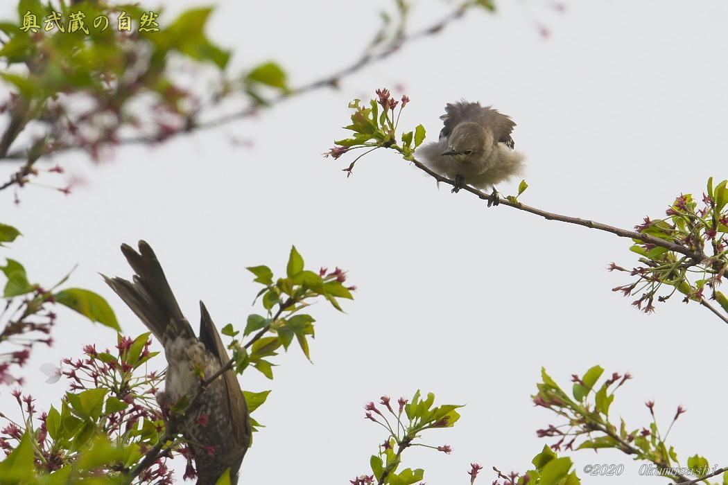 夏鳥到着_e0268015_19263965.jpg