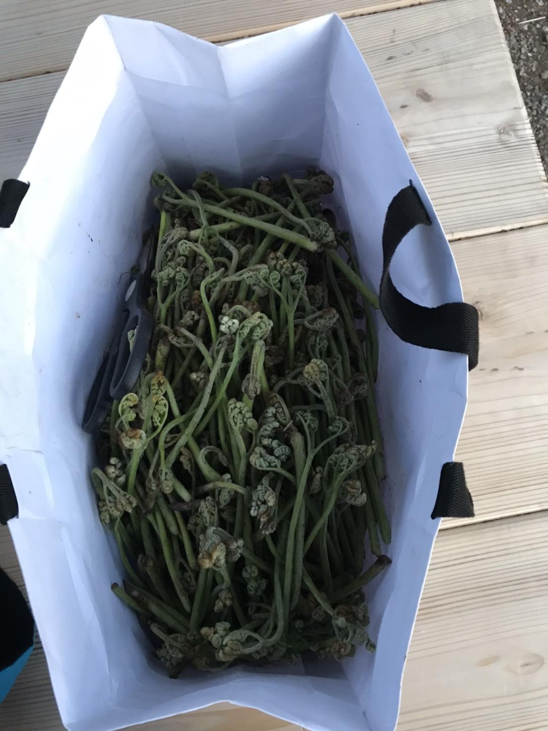 【春の味覚】わらびの収穫に行ってきました!_e0154524_15530752.jpg