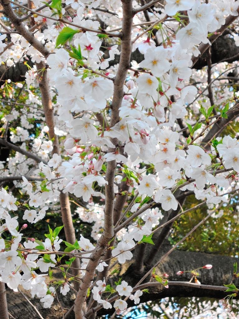 ある風景:Cherry blossom@Yokohama_c0395834_13330715.jpg