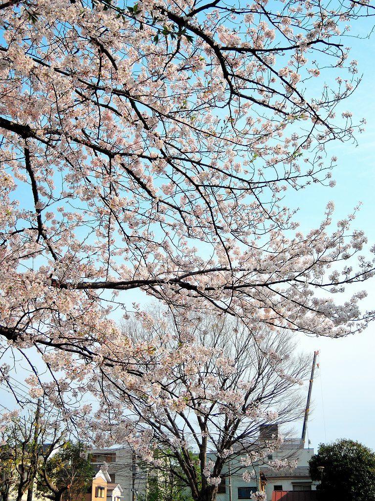 ある風景:Cherry blossom@Yokohama_c0395834_13330790.jpg