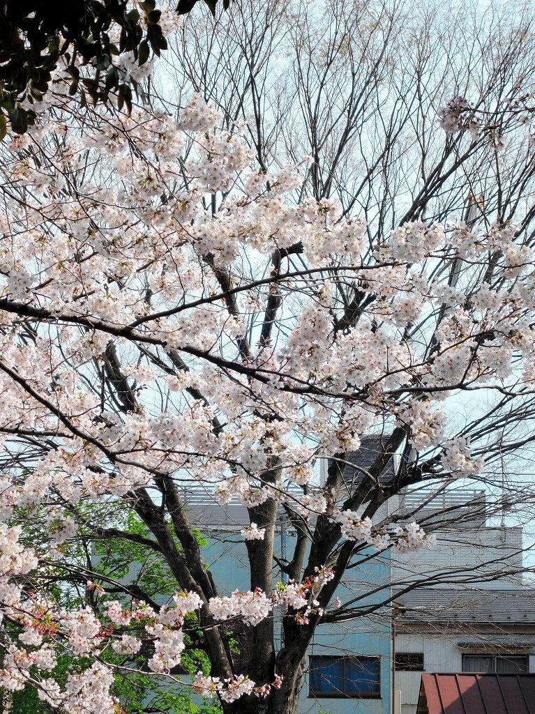 ある風景:Cherry blossom@Yokohama_c0395834_13330816.jpg