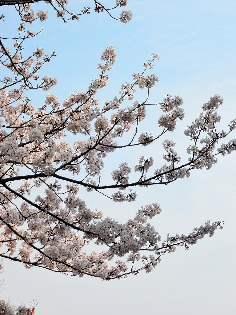 ある風景:Cherry blossom@Yokohama_c0395834_13330823.jpg