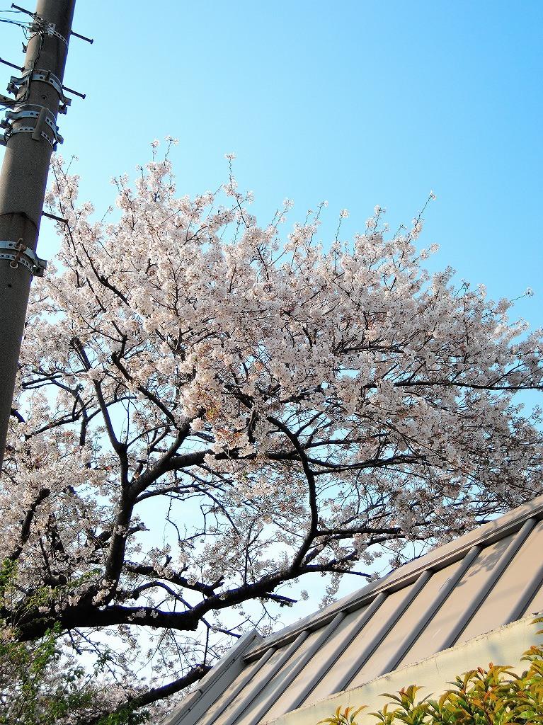 ある風景:Cherry blossom@Yokohama_c0395834_13330855.jpg