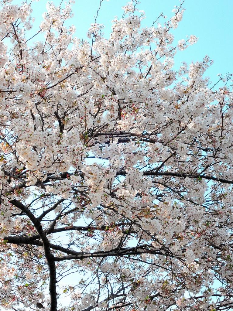 ある風景:Cherry blossom@Yokohama_c0395834_13331766.jpg