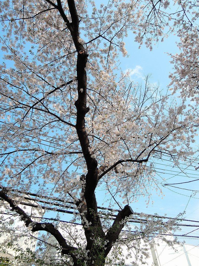 ある風景:Cherry blossom@Yokohama_c0395834_13331808.jpg