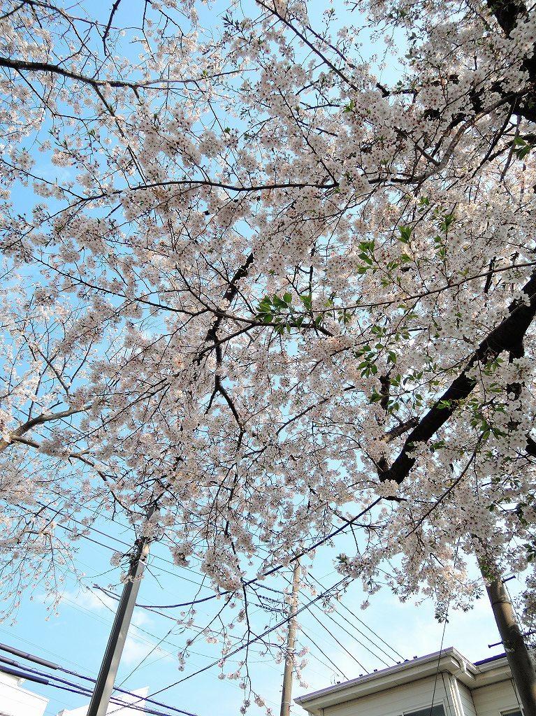 ある風景:Cherry blossom@Yokohama_c0395834_13331829.jpg