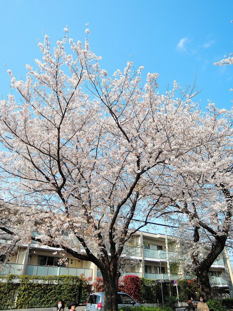ある風景:Cherry blossom@Yokohama_c0395834_13331896.jpg
