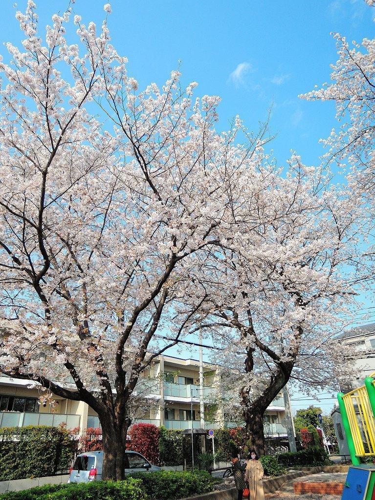 ある風景:Cherry blossom@Yokohama_c0395834_13331984.jpg