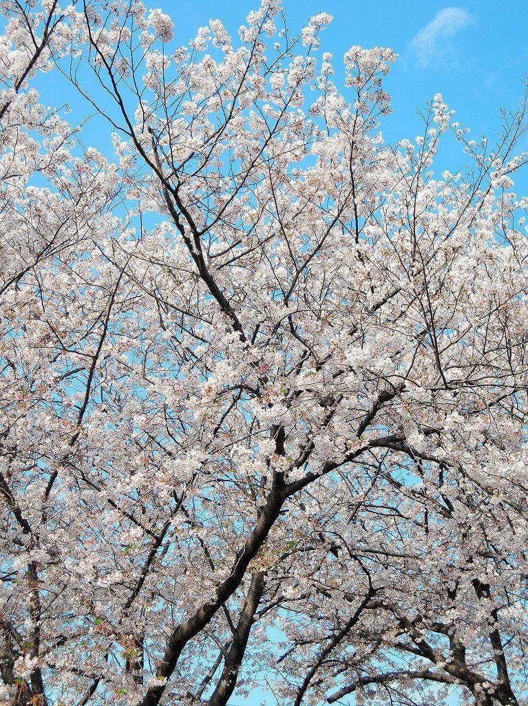 ある風景:Cherry blossom@Yokohama_c0395834_13332913.jpg