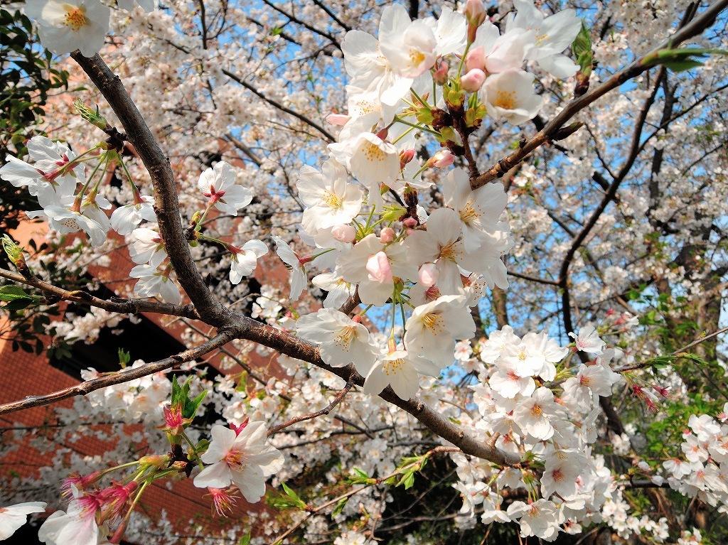 ある風景:Cherry blossom@Yokohama_c0395834_13333016.jpg
