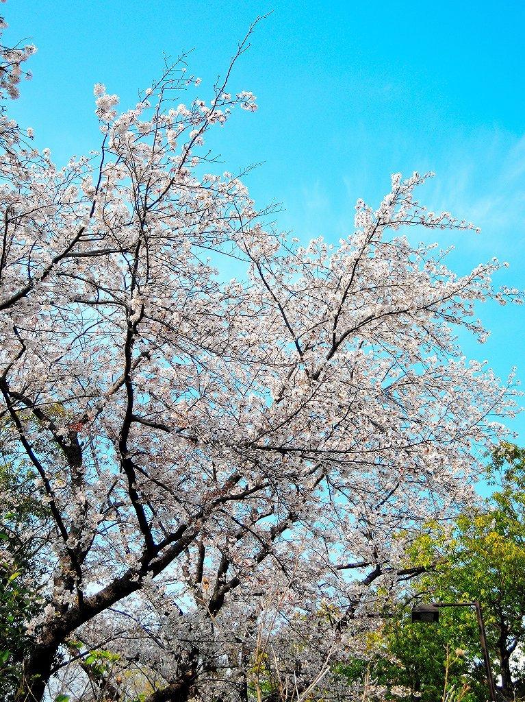 ある風景:Cherry blossom@Yokohama_c0395834_13333067.jpg