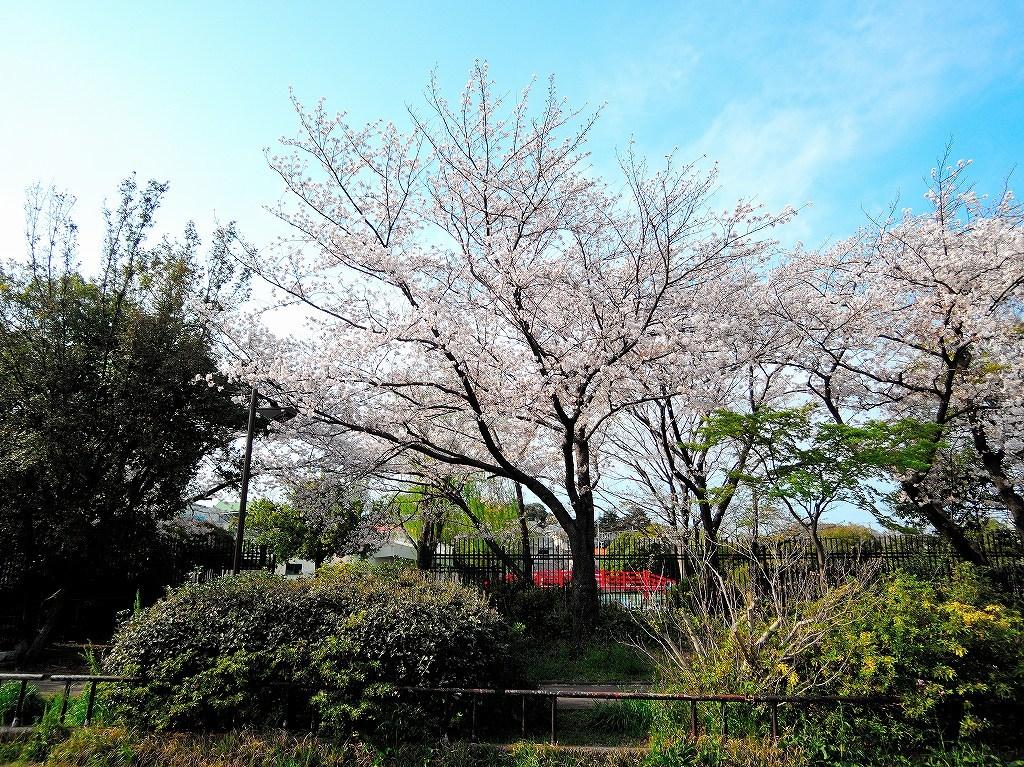 ある風景:Cherry blossom@Yokohama_c0395834_13333091.jpg