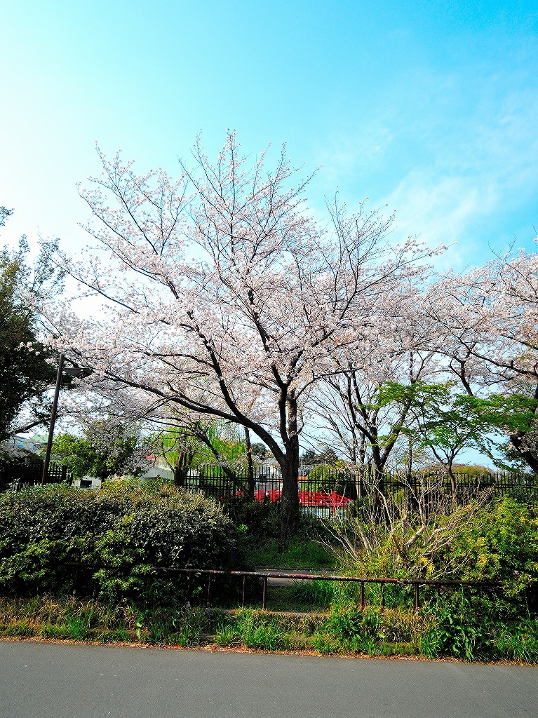 ある風景:Cherry blossom@Yokohama_c0395834_13333097.jpg