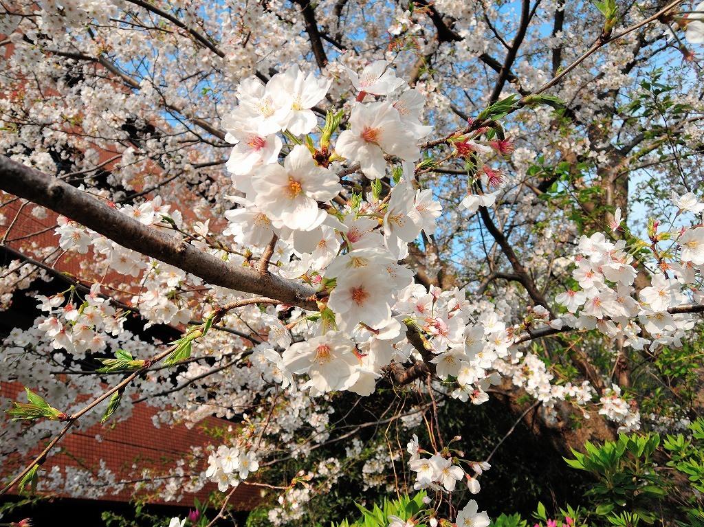 ある風景:Cherry blossom@Yokohama_c0395834_13334310.jpg