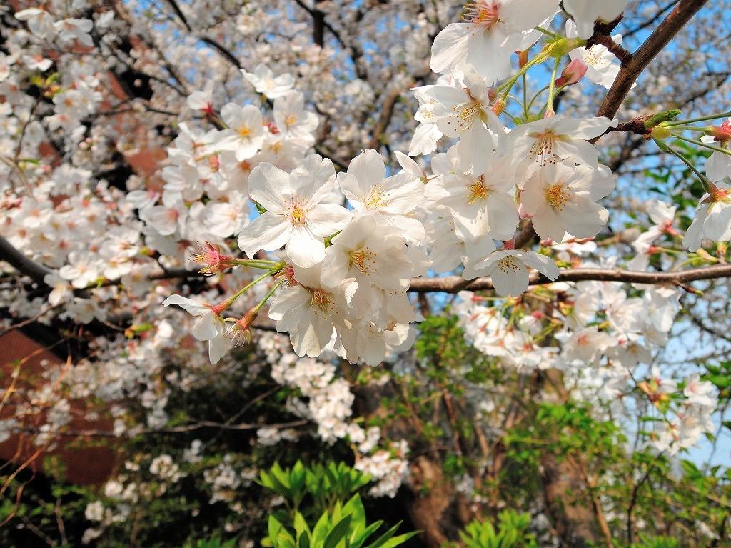 ある風景:Cherry blossom@Yokohama_c0395834_13334350.jpg