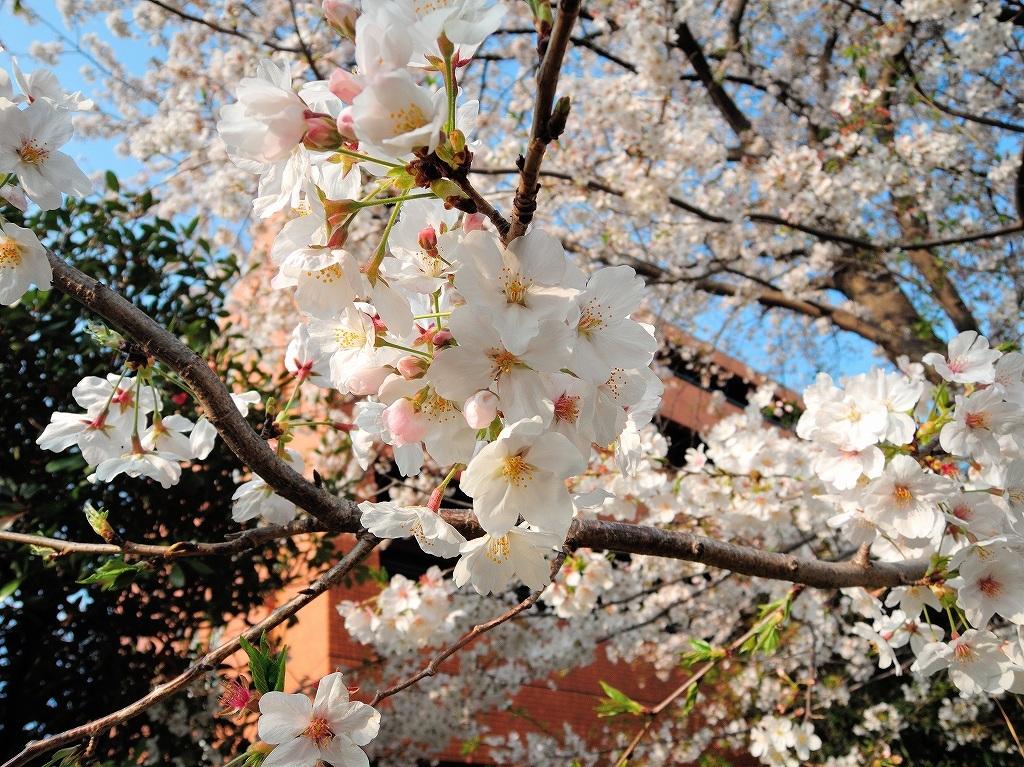 ある風景:Cherry blossom@Yokohama_c0395834_13334444.jpg