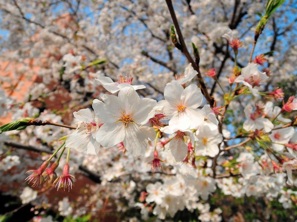 ある風景:Cherry blossom@Yokohama_c0395834_13334463.jpg