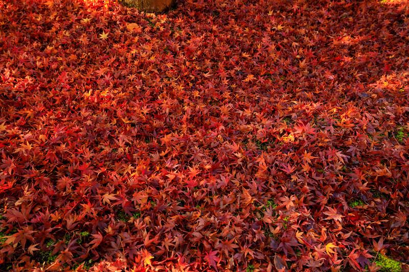 紅葉が彩る京都2019 散り進む智積院_f0155048_23442996.jpg