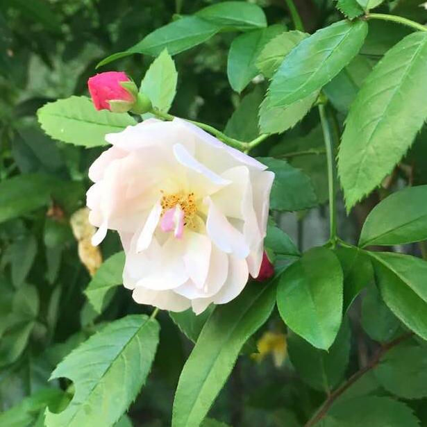 バラのことわざ/Stop and smell the roses_a0094959_14574065.jpg