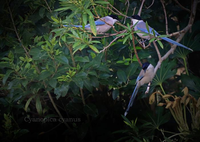 オナガ: Azure-winged Magpie_b0249597_05470652.jpg